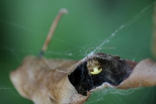 Araneus marmoreus – márványos keresztespók