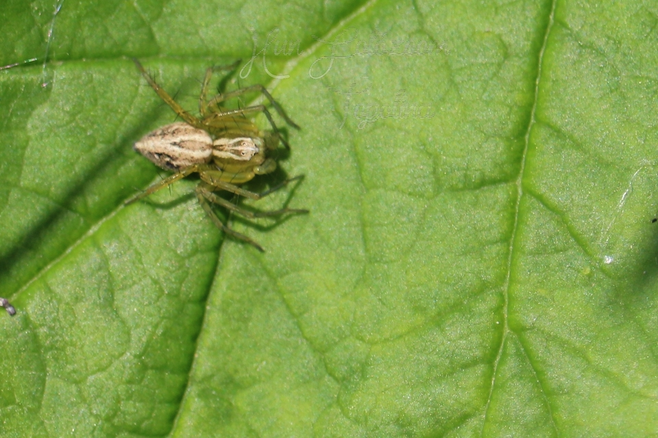 oxyopes_lineatus_2.jpg
