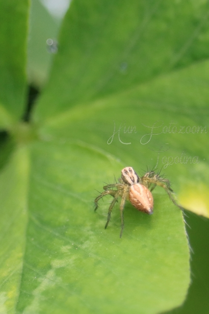 oxyopes_lineatus_3.jpg