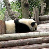 Panda 成都大熊猫繁育研究基地