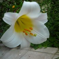 A liliomleány