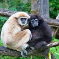Gibbonok és a magyar mesehősök