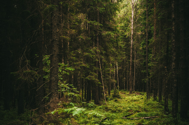 dark-coniferous-old-forest-with-ray-light-summer-from-north-america_94053-48.jpg