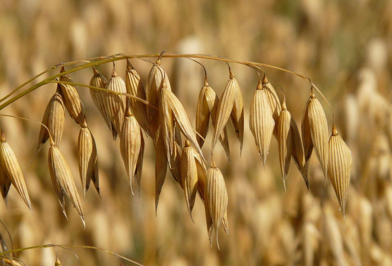 oats-8946_1280_0.jpg