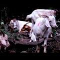A kecske újraértelmezve: környezetbarát gyomírtó