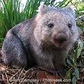 Amit a wombatokról feltétlenül tudni kell