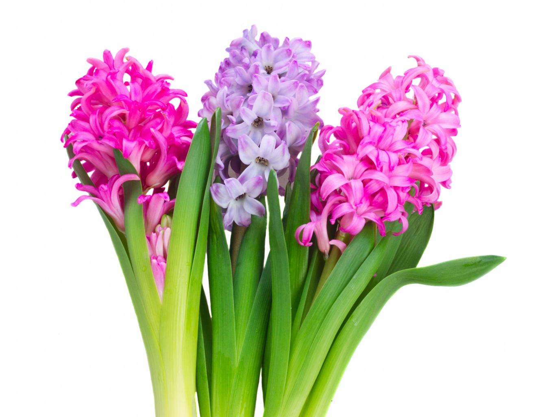 hyacinth-flower_jacint-virag-9734173631.jpg