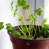 Otthon termeszthető fűszernövények