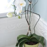 Szobanövények: orchidea a lakásban