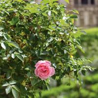 Virágzó és illatozó nyári kedvenc: a rózsa