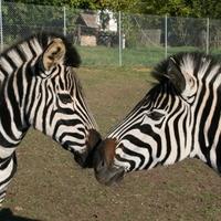 Zebrát vegyenek! Kiárusítást tart az állatkert!