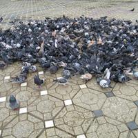 A galambok etetése tilos