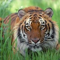 A FÉLELEM tigrise