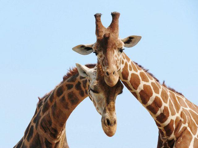 Tanuld meg a zsiráfnyelvet!