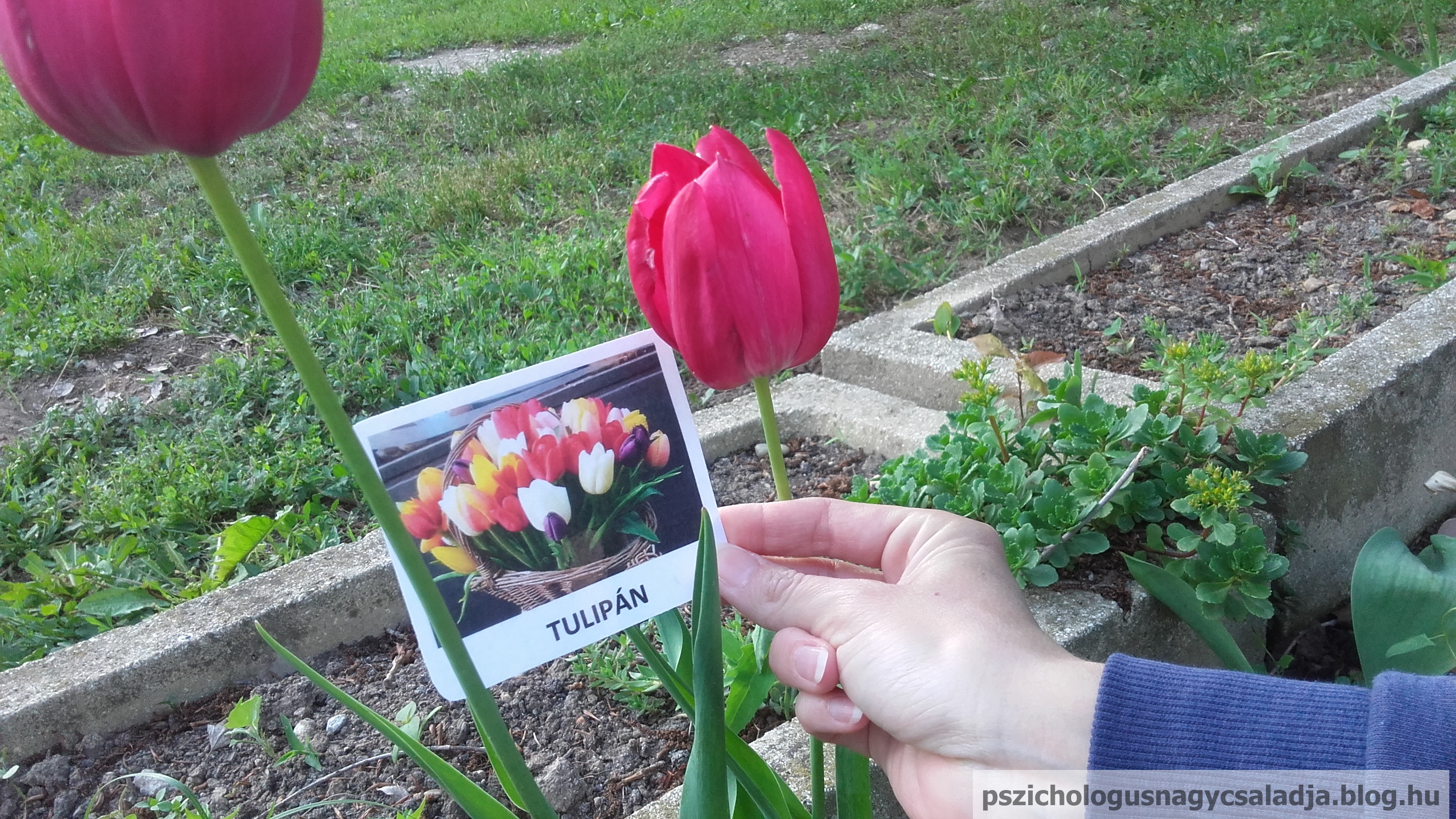 v_tulipan.jpg