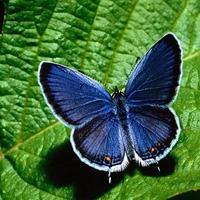 A pillangó szárnya
