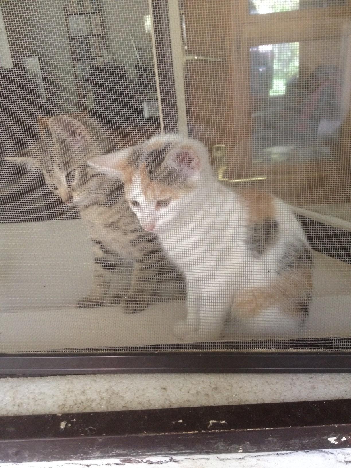Macskák az ablakban: Titus (a cirmos) és Zazie (a foltos) megérkezett. Éppen Elmót, a kutyát figyelik...