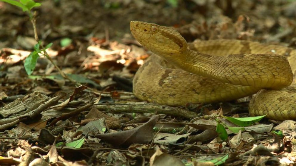 http://abcnews.go.com/GMA/video/trip-brazils-snake-island-home-golden-lancehead-pit-23301473