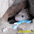 Rágcsálóirtó pépek és a patkányok. Patkányirtás megfelelő irtószerei.