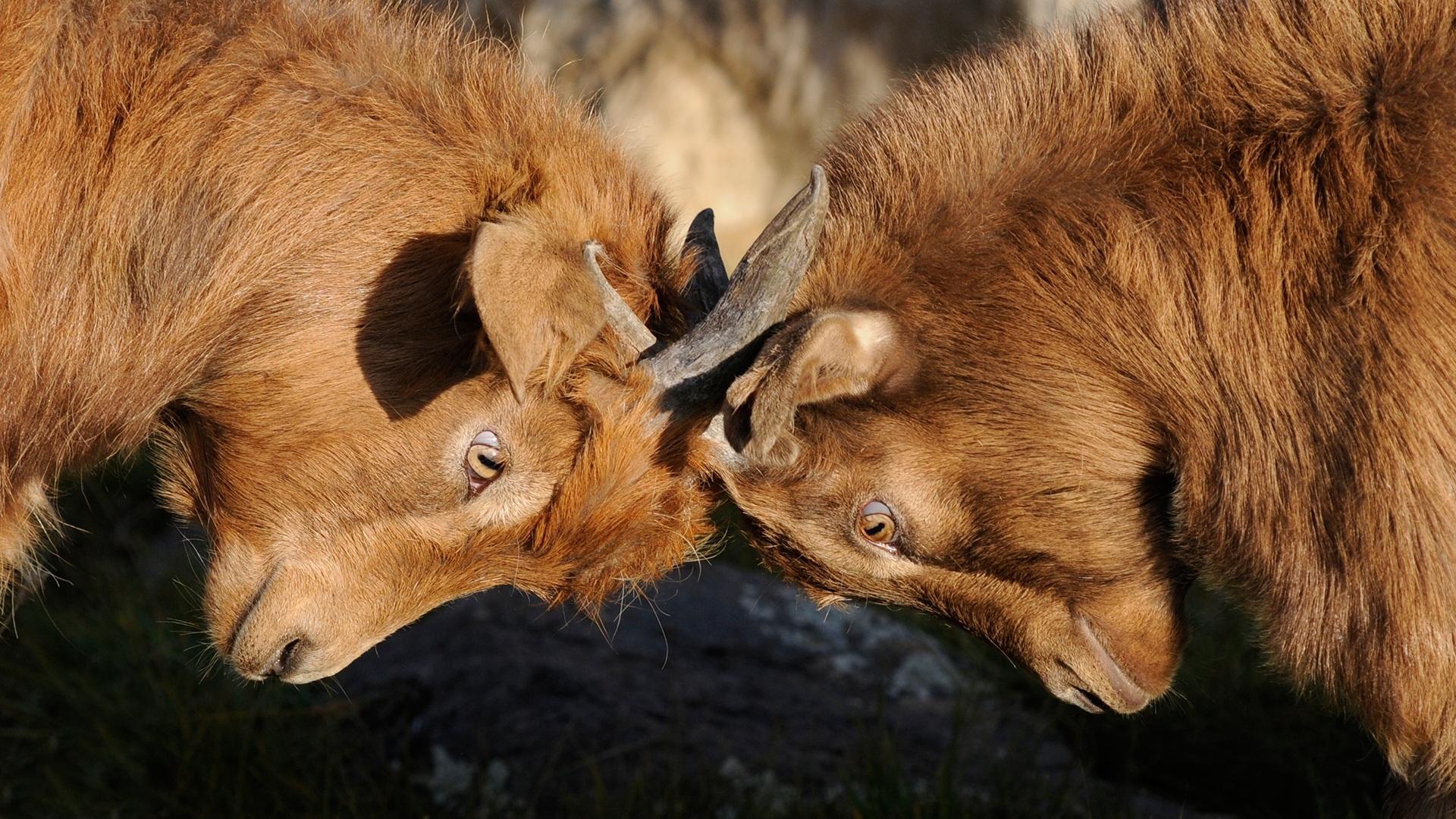 goats-692660.jpg