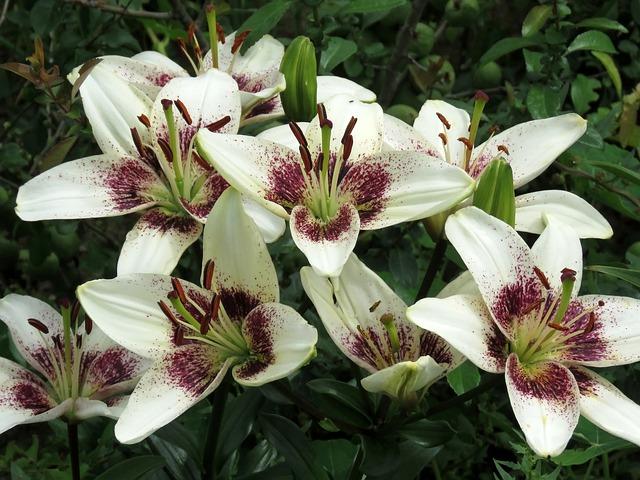 lilies-4352631_640.jpg