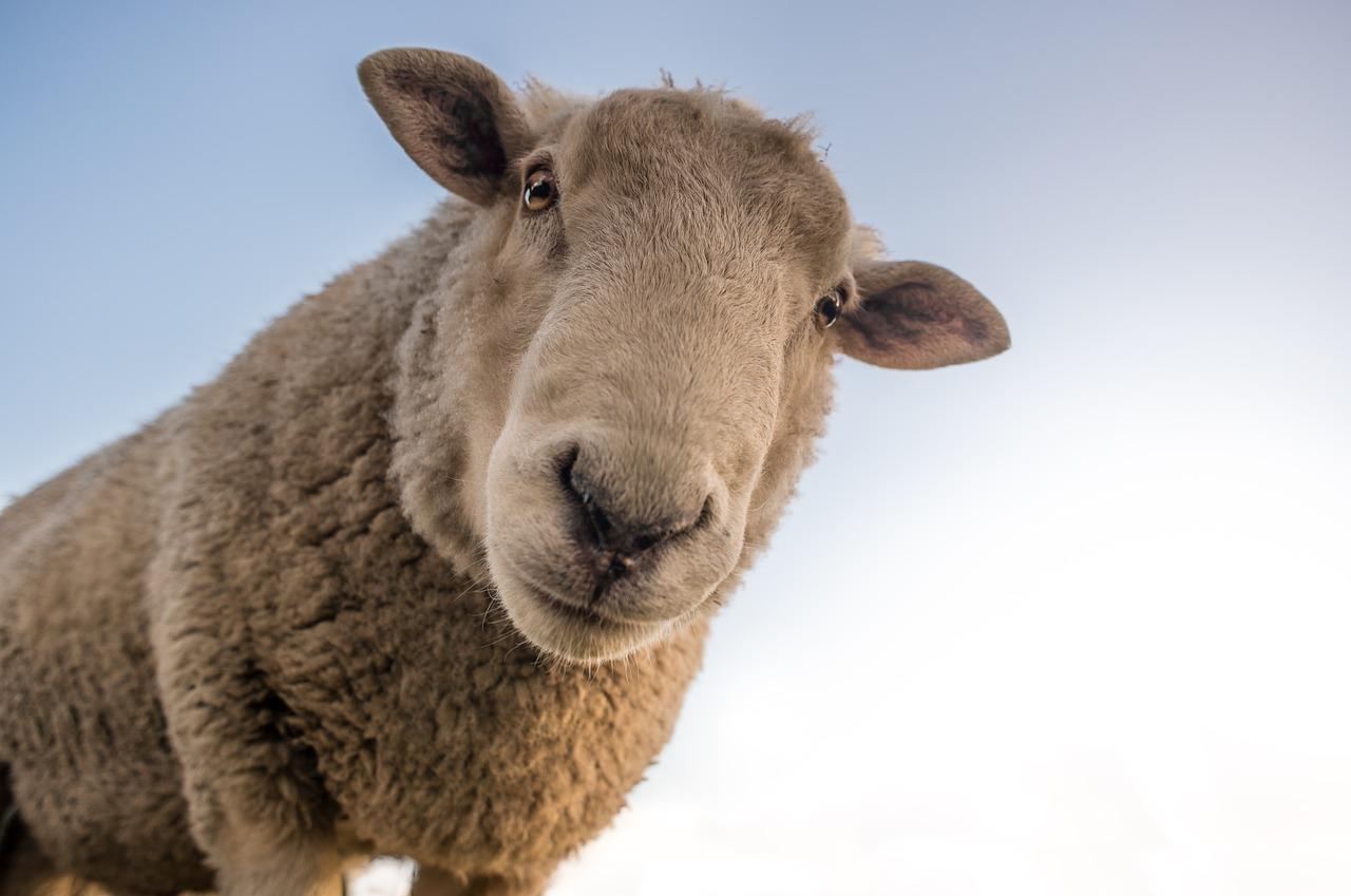 sheep-1822137_1280.jpg