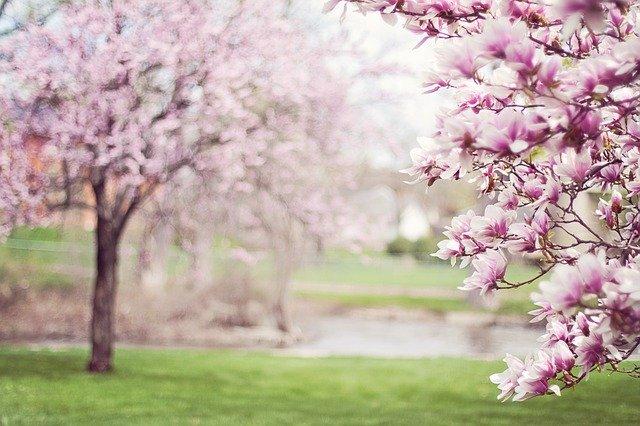 magnolia-trees-556718_640_1.jpg