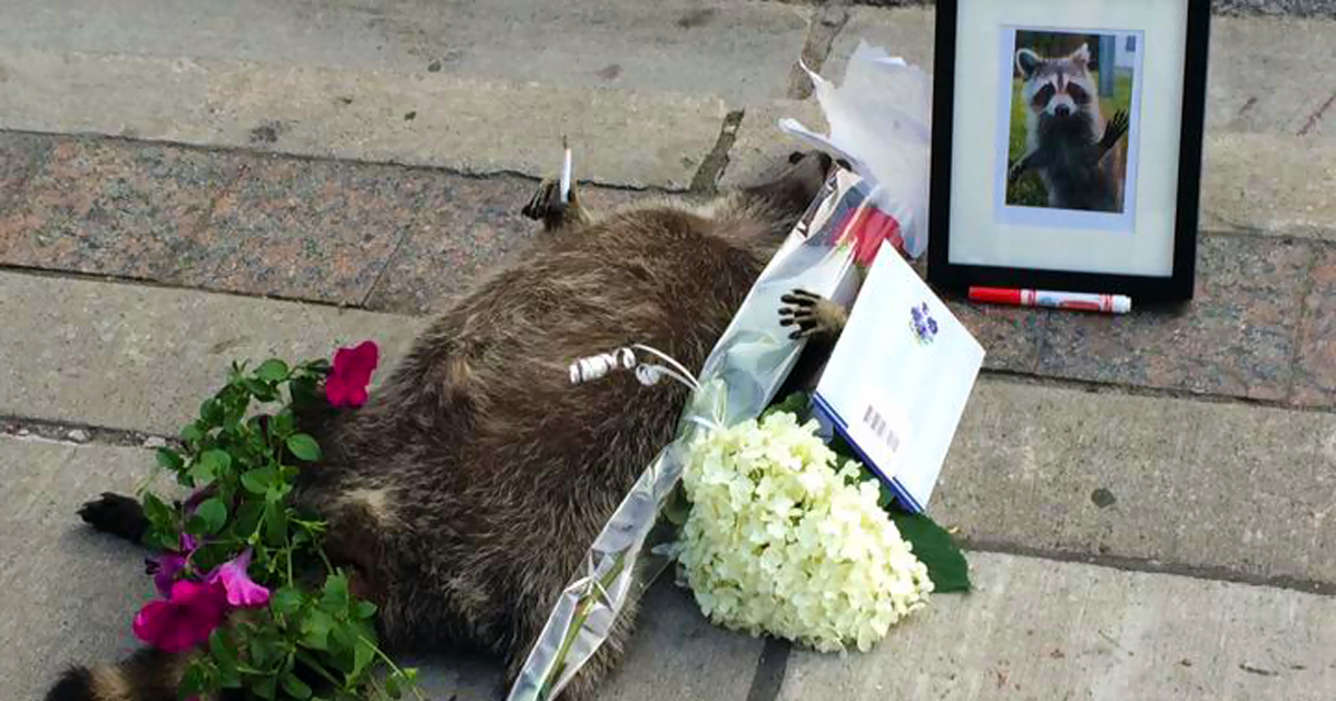 dead-raccoon-memorial-shrine-mourning-deadraccoonto-toronto-fb.jpg