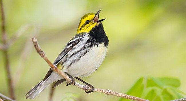 bird-calls-green.jpg