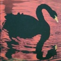 Modignani: Fekete hattyú