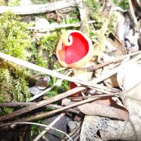 Osztrák és piros csészegomba