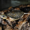 Ritka teknősök születtek New York-ban