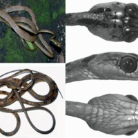 Új kígyófaj az Andokból