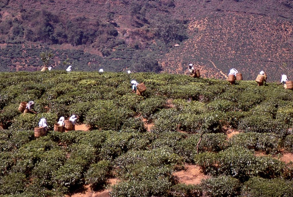 A sziget közepén teaültetvényeken tamil asszonyok szedik az érett tealeveleket
