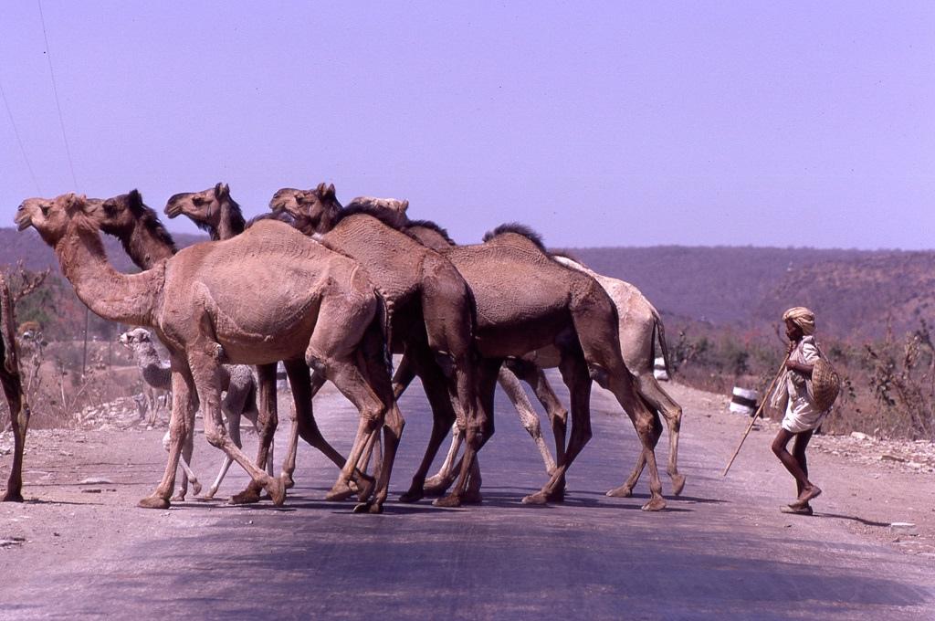 A pakisztáni határhoz közeli, száraz radzsasztáni területen már sokszor tűnnek fel tevék