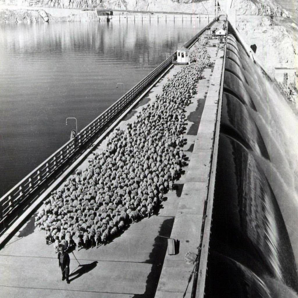 1947_shepherd_taking_sheep_across_grand_coulee_dam.jpg