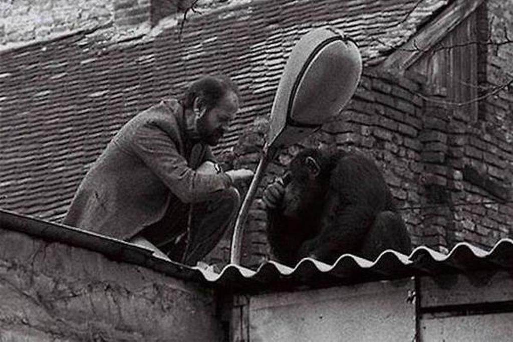 1988_the_belgrade_zoo_director_is_requesting_for_chimpanzee_sami_escaped_from_the_zoo_to_come_back.jpg