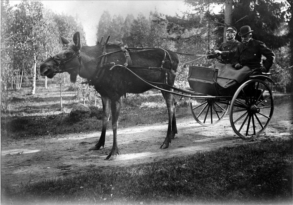 1908_the_moose_stolta_who_once_participated_in_a_horse_race_and_allegedly_won_sweden.jpg