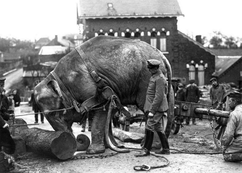 1915_an_indian_elephant_from_the_hamburg_zoo_used_by_germans_in_valenciennes_france_to_help_move_tree_trunks.jpg