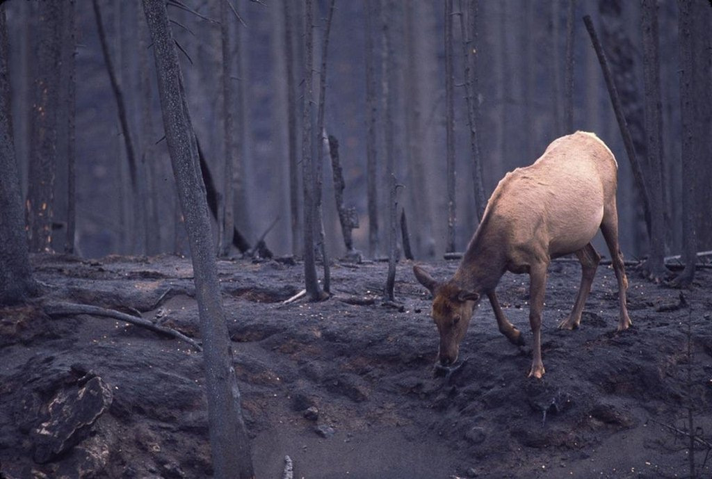 1988_an_elk_wanders_the_burned_area_of_yellowstone_national_park_during_the_fires.jpg