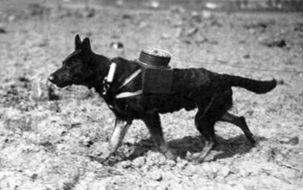 1917_szeptember_a_messenger_dog_with_a_spool_attached_to_a_harness_for_laying_out_new_electric_line_on_the_western_front.jpg