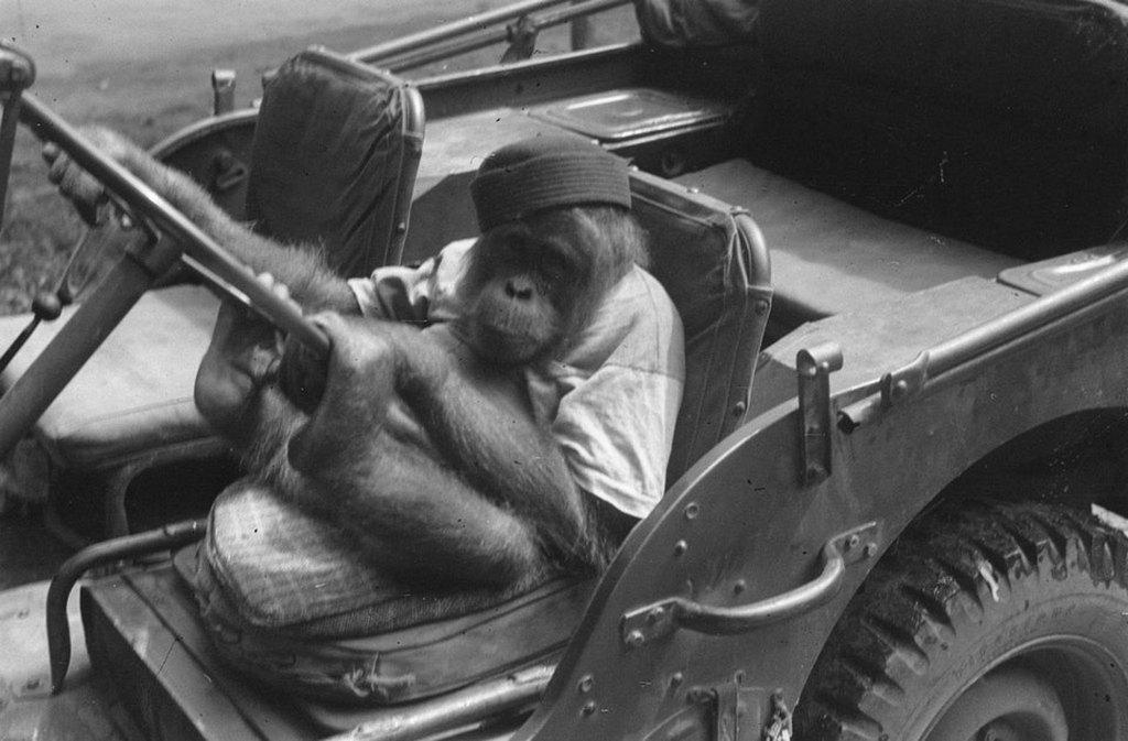 1947_a_young_orangutan_sits_behind_the_wheel_of_a_dutch_army_jeep_indonesia.jpg