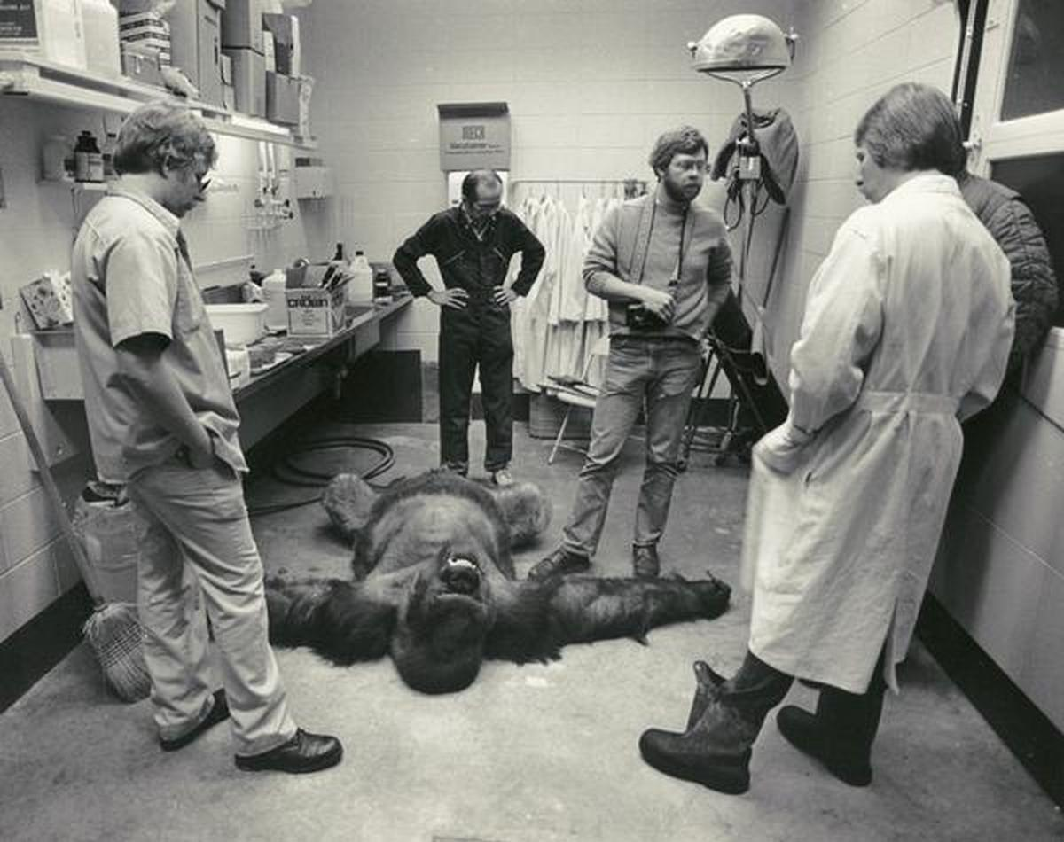 1981_milwaukee_zoo_veterinarians_with_samson_the_gorilla_shortly_after_he_died_of_a_heart_attack_at_the_age_of_32.jpg