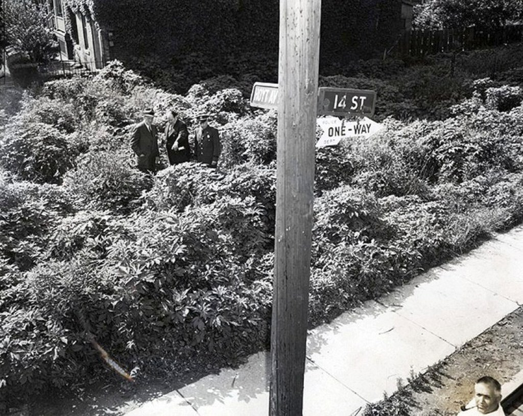 1951_nyc_officials_view_an_astoria_vacant_lot_overrun_with_marijuana_plants.jpg