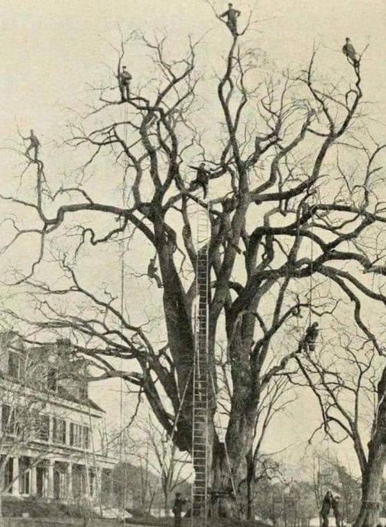 1880-as_evek_tree_pruning_in_us.jpg