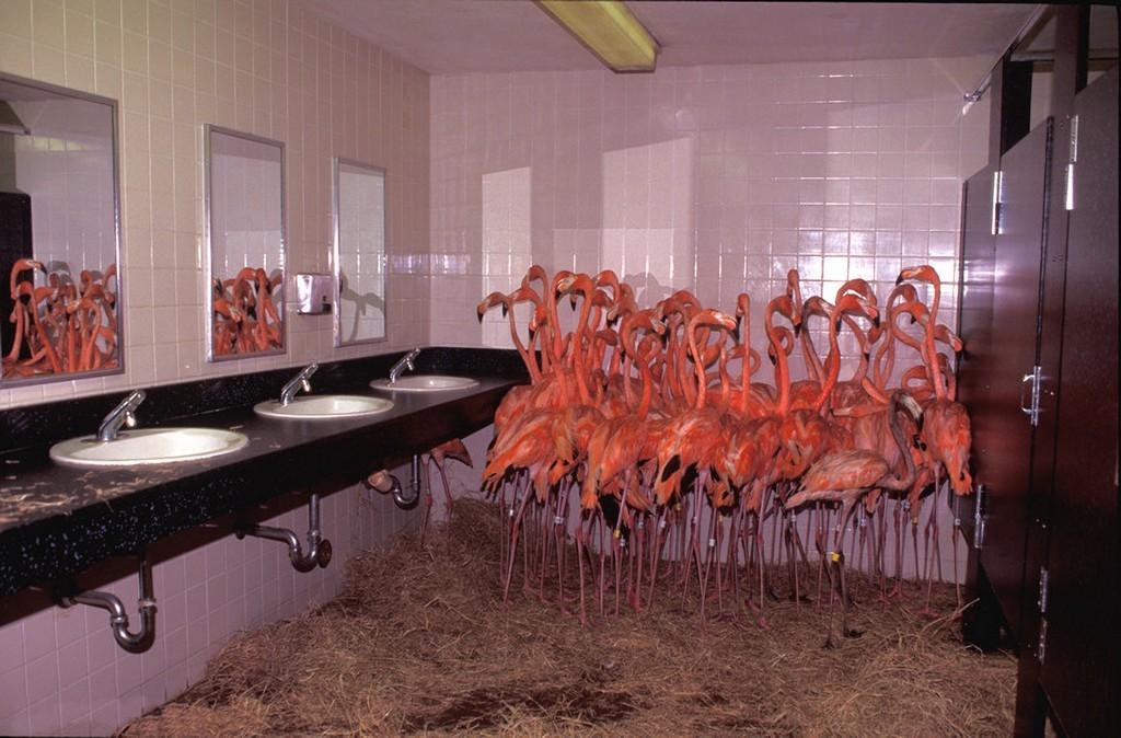 1992_flamingok_a_miami_allatkert_vendegmosdojaban_az_andrew_hurrikan_idejen.jpg