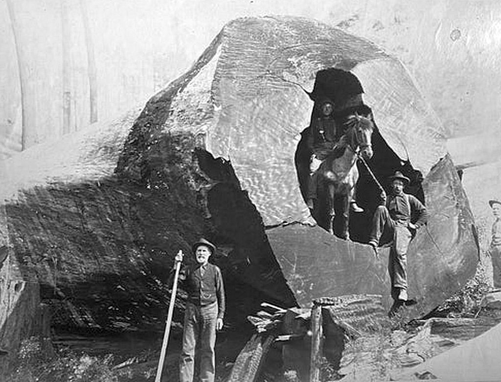 1902_a_man_on_a_horse_inside_the_trunk_of_a_tree_demonstrate_the_size_of_one_of_the_redwoods_felled_in_california_cr.jpg