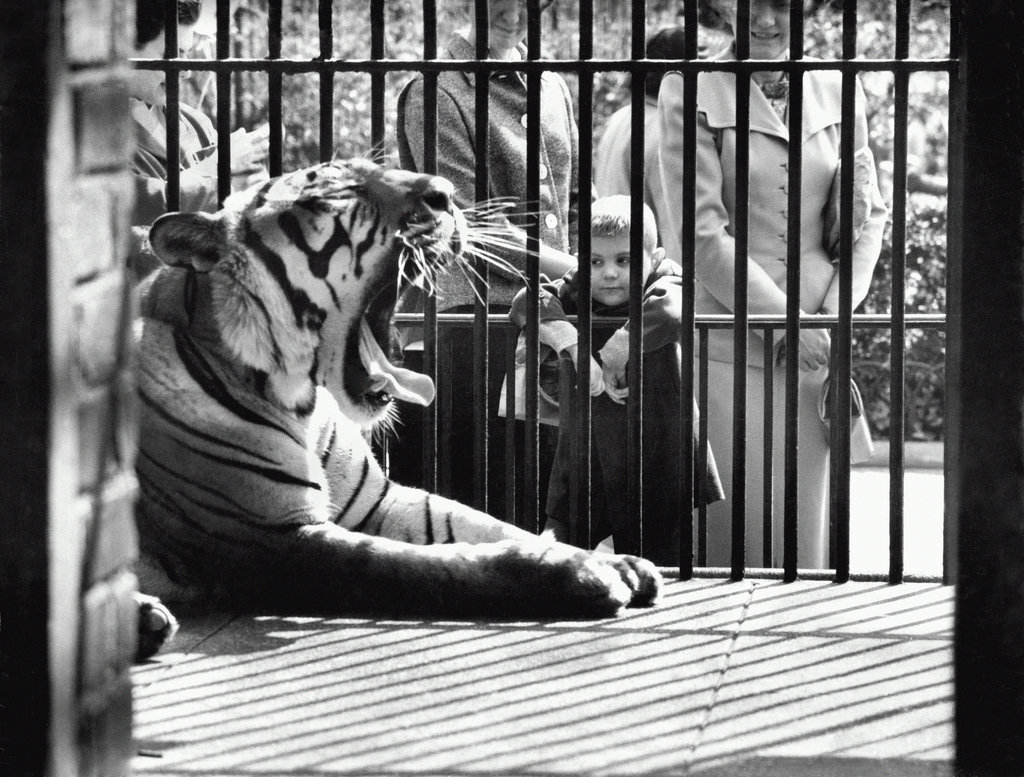 1960_a_boy_observed_a_tired_tiger_in_the_central_park_zoo.jpg