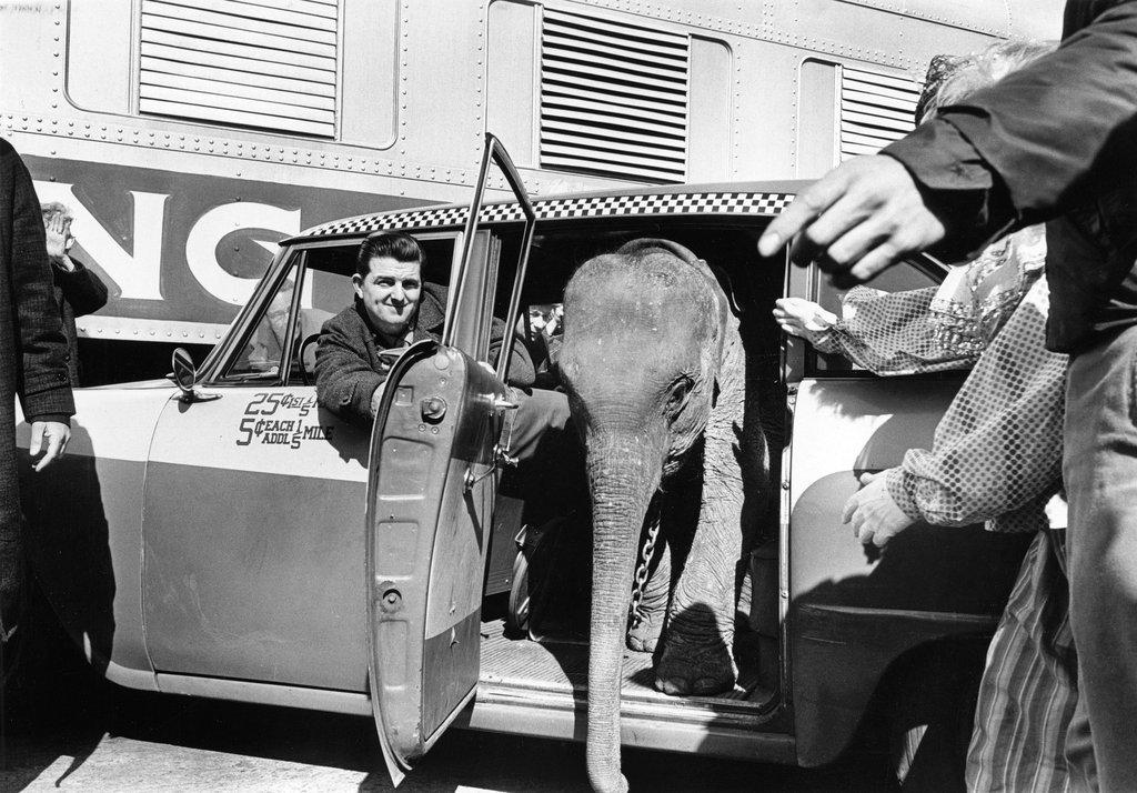 1964_bootsie_a_barnum_and_baily_cirkusz_elefantja_taxival_erkezik_a_madison_square_gardenbe.jpg