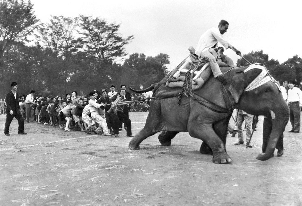1949_indira_a_15-year-old_elephant_given_as_a_gift_to_japan_by_prime_minister_nehru_of_india_won_a_tug-of-war_match_with_more_than_50_school_children_and_others_in_ueno_zoo_tokyo.jpg